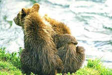 Two Katmai Bears Hugging