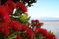 New Zealand pohutukawa-new-zealand-christmas-tree