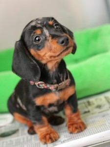 baby dachshund named for her Christmastime birth as Noelle