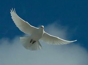 forgiveness and the white-dove-forgiveness