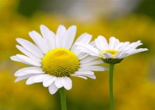 Zest for Life-Daisies